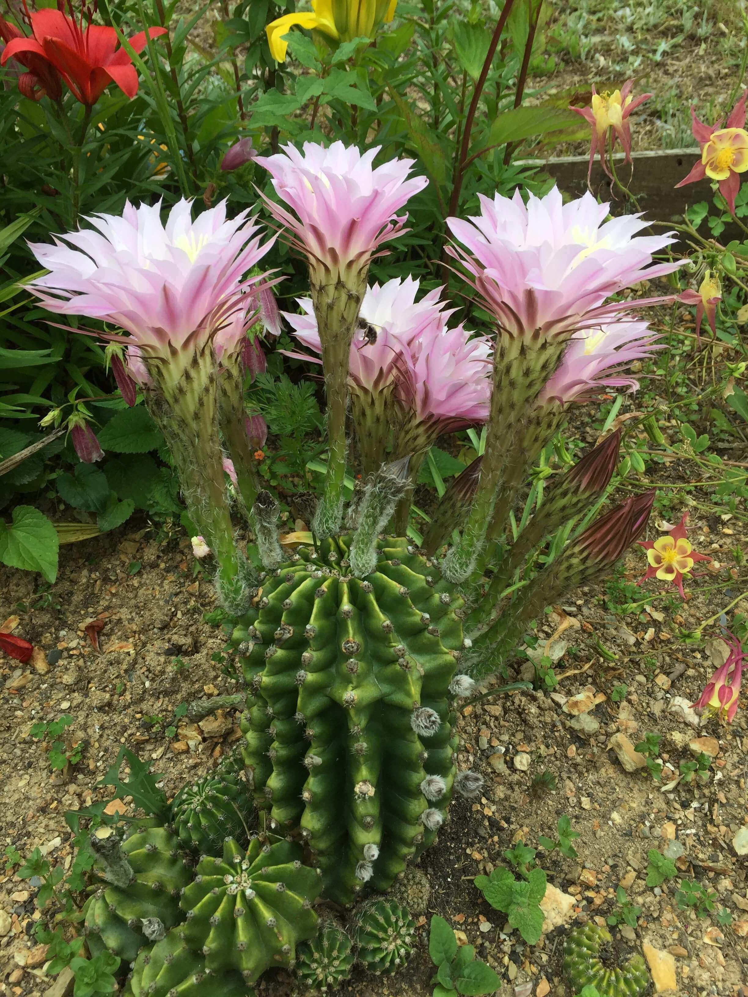 Casa Traca bloeiende cactus