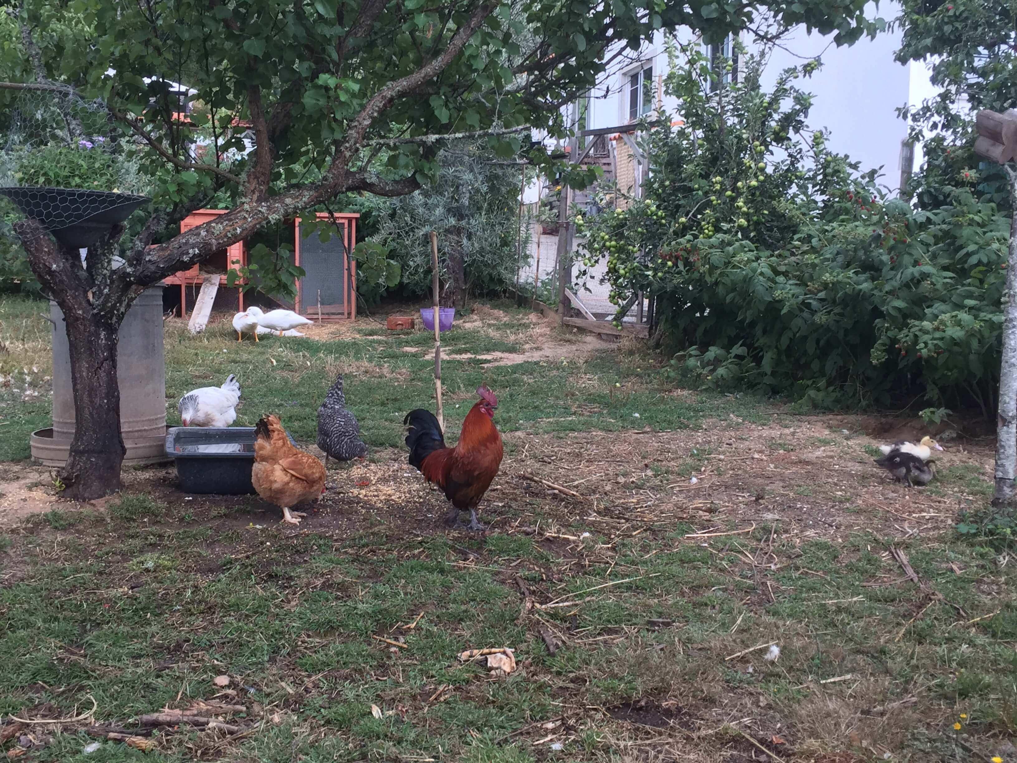 Casa Traca kippen en eenden