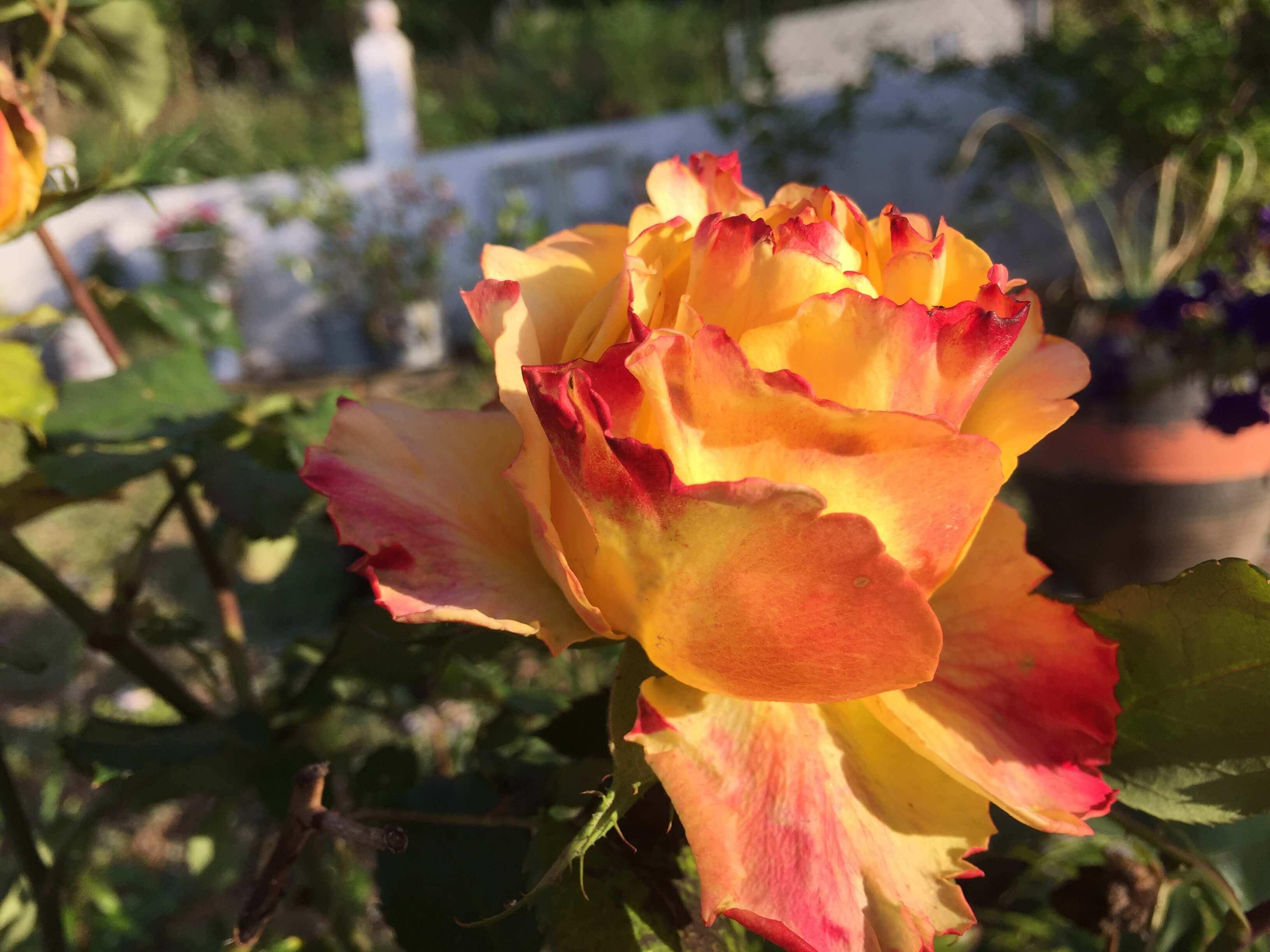 Casa Traca, rozen in bloementuin