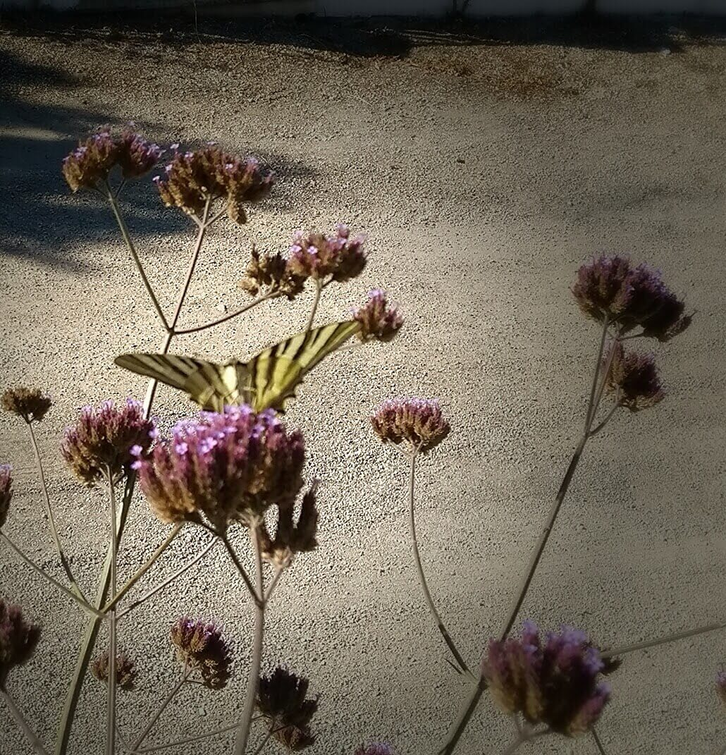 Casa Traca vlinder