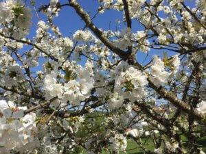 Casa Traca Centraal Portugal Bed and Breakfast bloesemboom nieuw leven