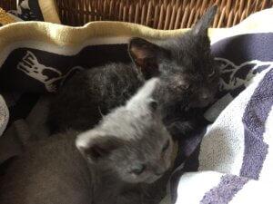 kittens Dorus en Jip Casa Traca