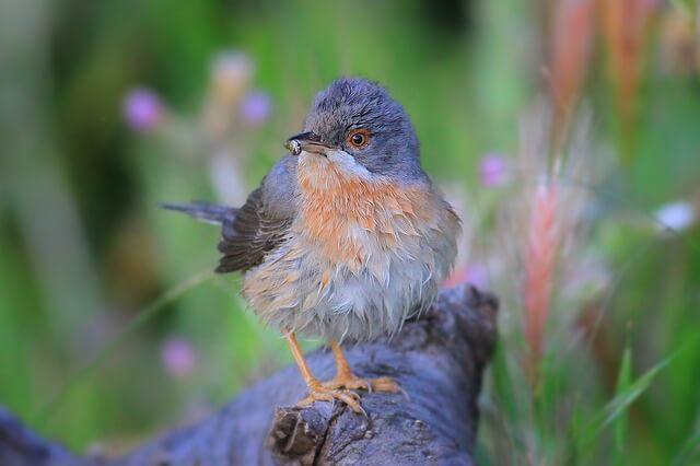 Baardgrasmus Serra do Açor Bed and Breakfast Arganil Centraal Portugal voor vogelvakanties