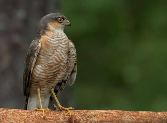 Havik Serra do Açor vogelaars vogelvakantie spot deze rover
