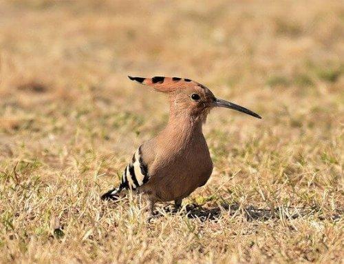 Vogelaars: vogelvakantie Centraal Portugal