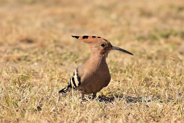 Hop Centraal Portugal vogelvakantie voor vogelaars